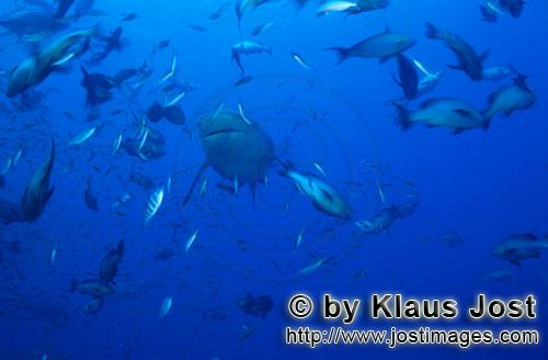 Bull Shark/Carcharhinus leucas        Bull shark surrounded by fish        Together with the Tiger S