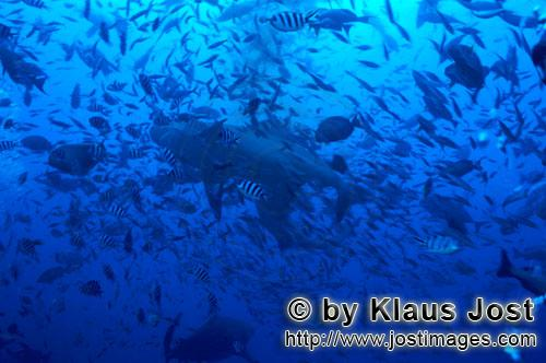 Bull Shark/Carcharhinus leucas        Bull shark in a wall of fishes        Together with the Tiger
