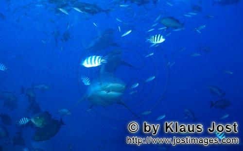 Bull Shark/Carcharhinus leucas        Bull Shark formation        Together with the Tiger Shark and