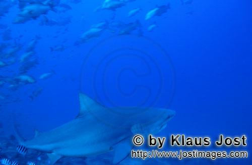 Bull Shark/Carcharhinus leucas        Bull shark swims towards the open sea        Together with the