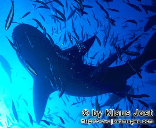 Bull Shark/Carcharhinus leucas        Bull Shark Silhouette        Together with the Tiger Shark and