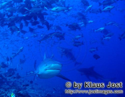 Bull Shark/Carcharhinus leucas        Bull sharks at the reef edge        Together with the Tiger Sh