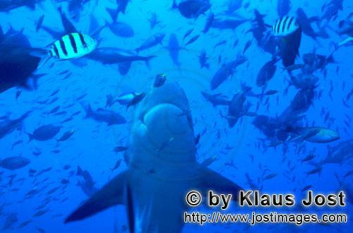 Bull Shark/Carcharhinus leucas        Bull shark swims vertically up        Together with the Tiger