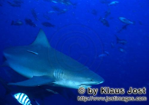 Bull Shark/Carcharhinus leucas        Bull shark in the blue South Pacific water        Together wit