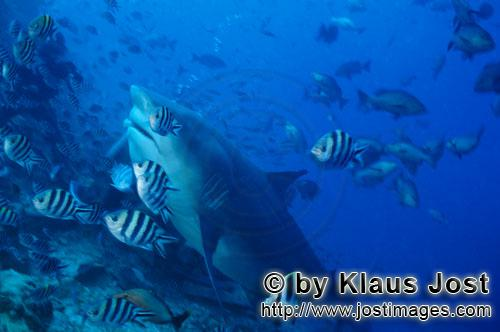 Bull Shark/Carcharhinus leucas        Large bull shark on reef slope        Together with the Tiger