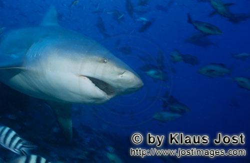 Bull Shark/Carcharhinus leucas        Bull shark with slightly opened mouth        Together with the