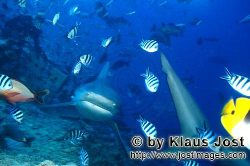 Bull Shark/Carcharhinus leucas        Bull shark from front        Together with the Tiger Shark and