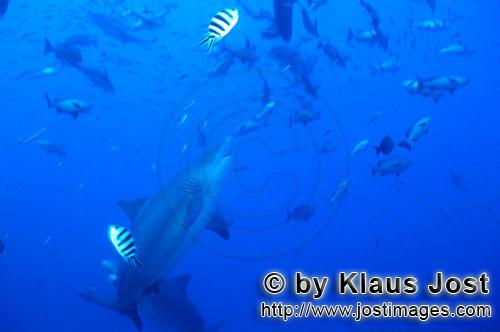 Bull Shark/Carcharhinus leucas        Bull shark swims upwards        Together with the Tiger Shark