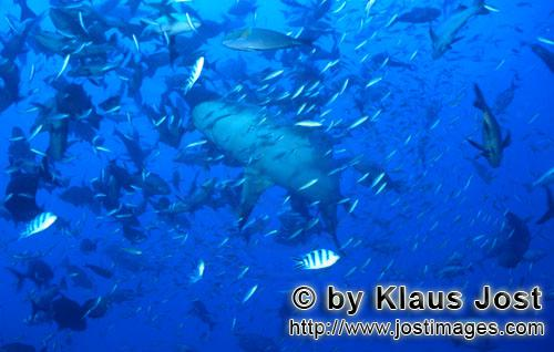 Bull Shark/Carcharhinus leucas        Bull shark in high fish concentration        Together with the