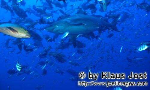 Bullenhai/Bull Shark/Carcharhinus leucas        Bull shark and countless fishes        Together with