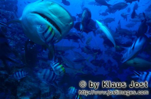 Bull Shark/Carcharhinus leucas        Bull shark in close distance        Together with the Tiger Sh