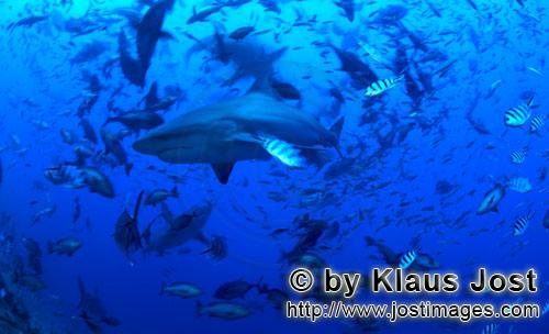 Bull Shark/Carcharhinus leucas        Bull sharks in the middle of fishés        Together with the