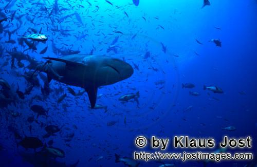 Bull Shark/Carcharhinus leucas        Bull shark from below        Together with the Tiger Shark and