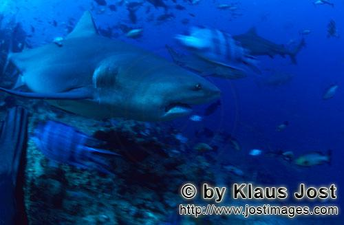 Bull Shark/Carcharhinus leucas        Bull shark is moving away from the reef        Together with t