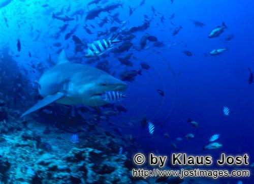 Bull Shark/Carcharhinus leucas        Bull leaves the reef        Together with the Tiger Shark and