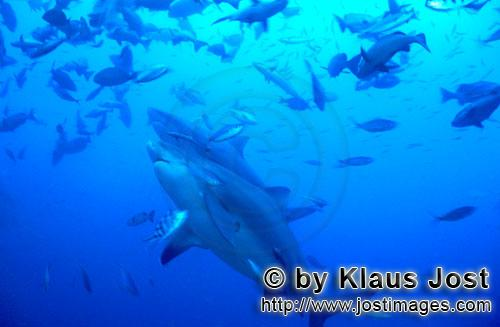 Bullenhai/Bull Shark/Carcharhinus leucas        Two Bull Sharks        Together with the Tiger Shark