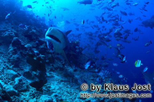 Bull Shark/Carcharhinus leucas        Bull shark with slightly open mouth        Together with the T