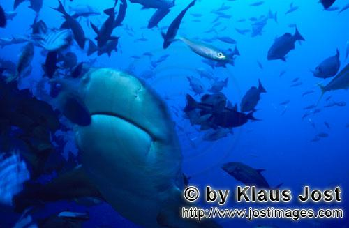 Bull Shark/Carcharhinus leucas        Bull shark in diagonal ascent        Together with the Tiger S