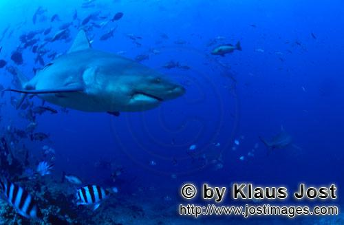 Bull Shark/Carcharhinus leucas        Bull shark at the reef edge        Together with the Tiger Sha