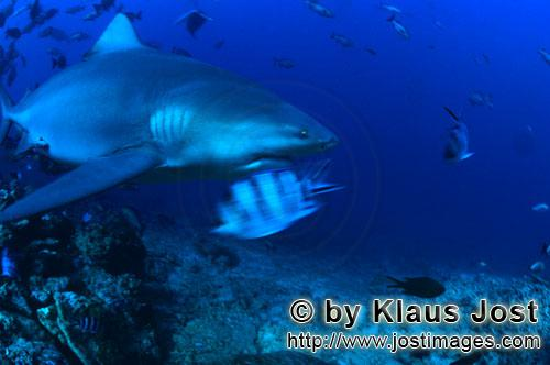 Bull Shark/Carcharhinus leucas        Bull shark on exploration in the reef        Together with the