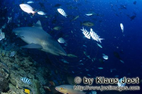 Bull Shark/Carcharhinus leucas        Bull shark swims into deeper water        Together with the Ti
