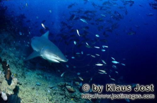 Bull Shark/Carcharhinus leucas        Bull shark in the coral reef        Together with the Tiger Sh