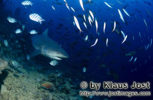 Bull Shark/Carcharhinus leucas        Bull shark on reef exploration        Together with the Tiger