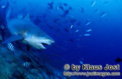 Bull Shark/Carcharhinus leucas        Bull shark swims in deeper water        Together with the Tige