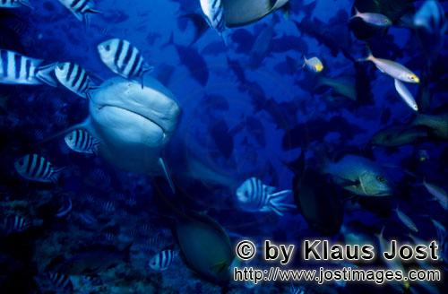 Bull Shark/Carcharhinus leucas        Impressive Bull Shark        Together with the Tiger Shark and