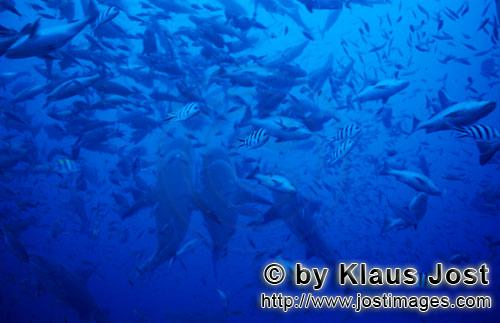 Bull Shark/Carcharhinus leucas        Bull Sharks swim vertically upwards        Together with the T