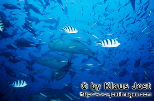 Bull Shark/Carcharhinus leucas        Bull Sharks underside        Together with the Tiger Shark and