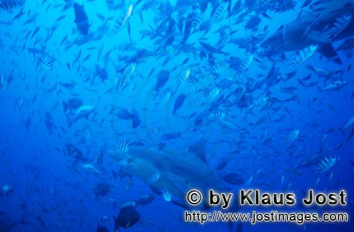 Bull Shark/Carcharhinus leucas        Bull sharks in fish concentration        Together with the Tig