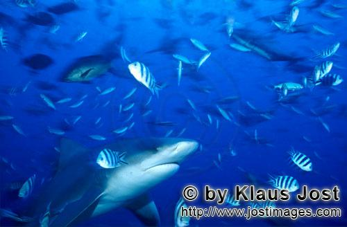 Bull Shark/Carcharhinus leucas        Bull shark accompanied by reef fishes        Together with the