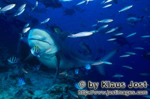 Bull Shark/Carcharhinus leucas        Impressive Bull Shark         Together with the Tiger Shark an