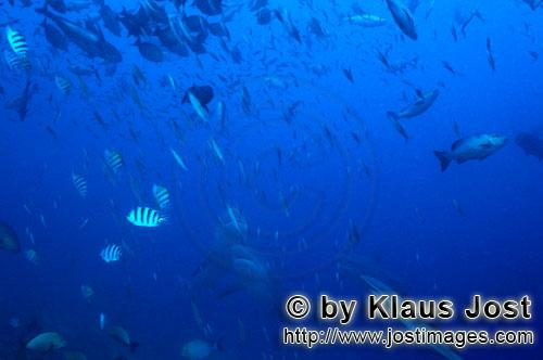 Bull Shark/Carcharhinus leucas        Bull sharks in vertical ascent        Together with the Tiger