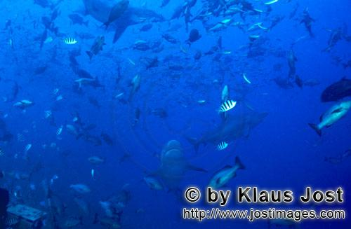 Bull Shark/Carcharhinus leucas        Coral fish and bull sharks        Together with the Tiger Shar