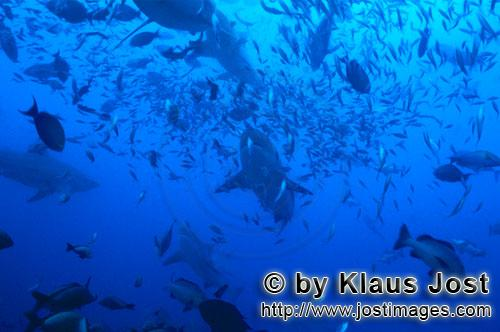 Bull Shark/Carcharhinus leucas        Bull sharks surrounded by fishes        Together with the Tige