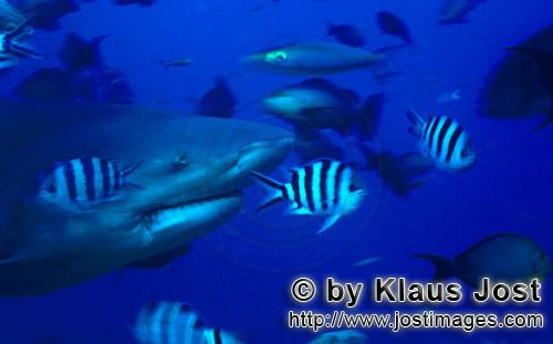 Bull Shark/Carcharhinus leucas        Remarkable Bull shark portrait        Together with the Tiger