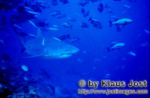 Bull Shark/Carcharhinus leucas        Bull shark in front of the coral reef        Together with the