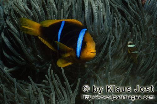 Orangeflossen-Anemonenfisch/Orange-Fin Anemonefish/Amphiprion chrysopterus        Orange-Fin Anemone
