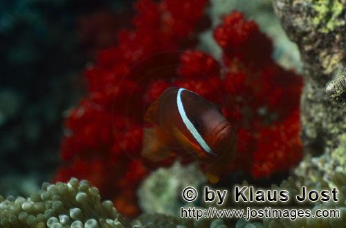 Dusky Anemonefish/Red and Black Anemonefish-Variation/Amphiprion melanopus        Red and Black anemonf