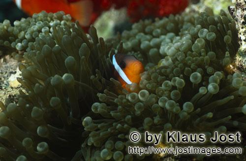 Schwarzflossen-Anemonenfisch/Dusky Anemonefish/Red and Black Anemonefish-Variation/Amphiprion melan