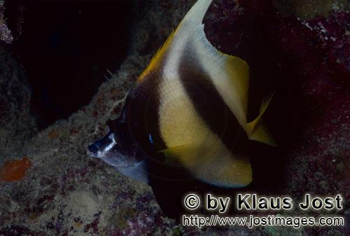 Rotmeer-Wimpelfisch/Red sea bannerfish/Heniochus intermedius        Rotmeer Wimpelfisch    Red sea banner