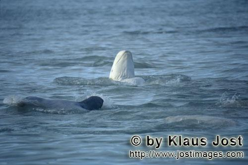 Beluga whale/Delphinapterus leucas            Beluga whale looks out of the water