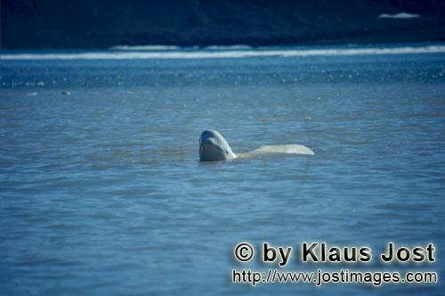Beluga whale/Delphinapterus leucas        Beluga whale raises his head above water