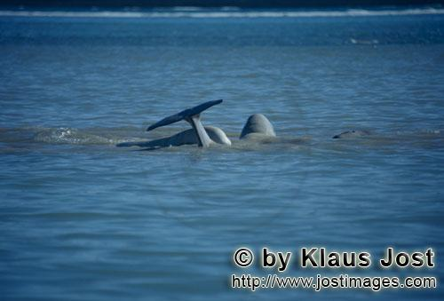 Beluga/Beluga whale/Delphinapterus leucas        Beluga whales on the water re surface