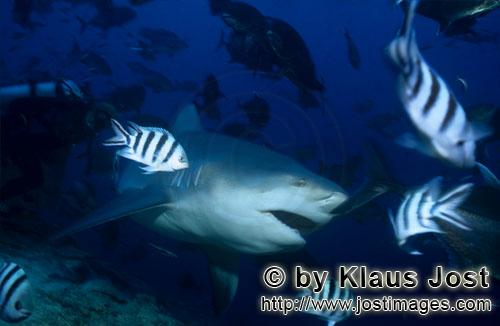 Bullenhai/Bull Shark/Carcharhinus leucas        Bull Shark        Together with the Tiger Shark and