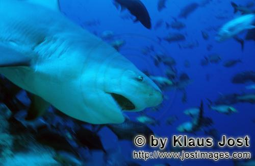 Bull Shark/Carcharhinus leucas        Dangerous-looking Bull shark        Together with the Tiger Sh