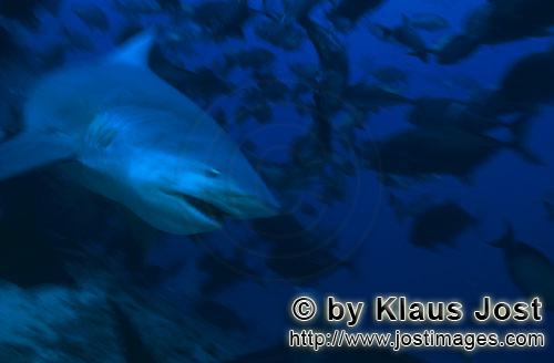 Bullenhai/Bull Shark/Carcharhinus leucas        Fast-swimming bull shark         Together with the T