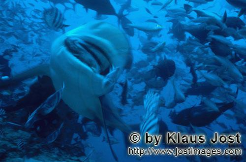 Bullenhai/Bull Shark/Carcharhinus leucas        Bull shark with fish bait         Together with the